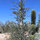 Cirio; Boojum tree
