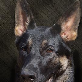 German Shepherd Head Portrait by Twin Wranglers Baker - Animals - Dogs Portraits (  )