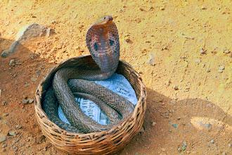 Photo: A captive cobra in a snake charmer's basket in rural India