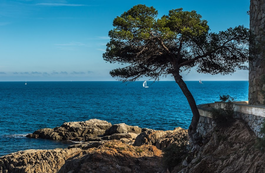A tree on the Costa Brava, Girona, Spain. by Liam Coburn Dunne - Uncategorized All Uncategorized ( nikon 24-70, girona, tyranquility, blue, nikon d800, peace, mediterranean, rocks, costa brava,  )