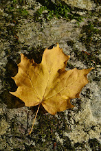 Photo: Leaf colored for fall at Half Moon State Park by Bill Steele