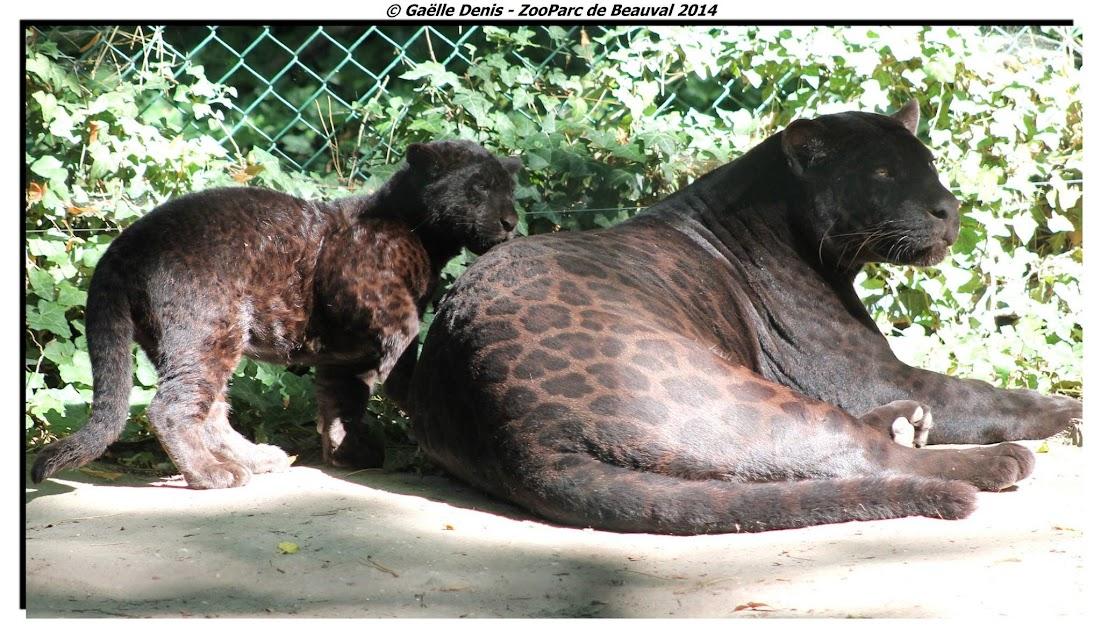 Jaguars noirs, Beauval - Tous droits réservés