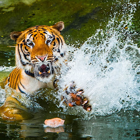 get my meal........ by Rolando Eduard - Animals Lions, Tigers & Big Cats