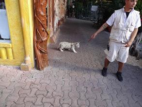 Photo: bílej tygr v Playa del Carmen