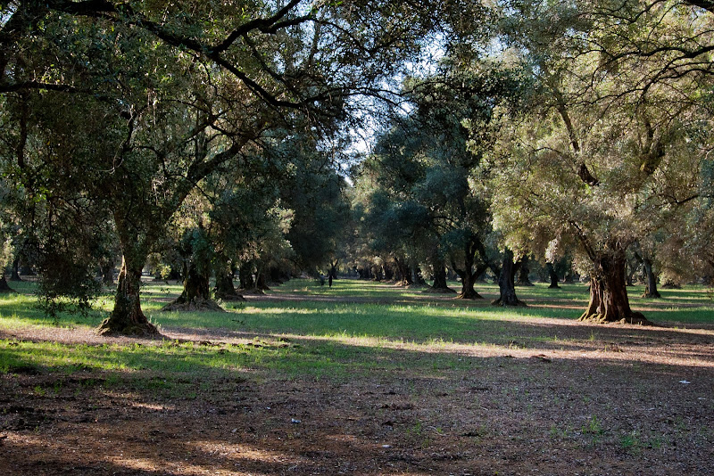 AUn passeggiata tra gli ulivi di Fiorenza Aldo Photo