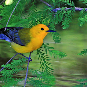 Prothonotary Warbler by Shixing Wen - Animals Birds ( bird, nature, prothonotary warbler, bird photos, nature photography, birds, bird photography, warbler )