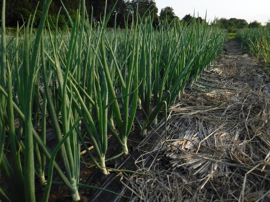 5/15大きくなった湘南レッド。義父が2回除草してくれたので、草が生えてません!