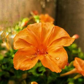 Mirabilis Jalapa by Erl de Jose - Flowers Flower Gardens ( four o'clock, nature, marabilis jalapa, garden, flower, marvel of peru,  )
