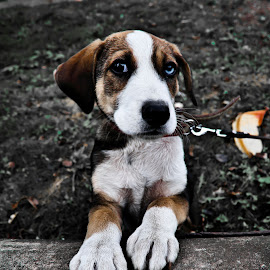 cute puppy by Alexandru Nita - Animals - Dogs Portraits ( hdr, puppy, paws, cute, coloured eyes, concrete )