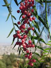 Photo: Lekce botaniky: pepř roste na stromech