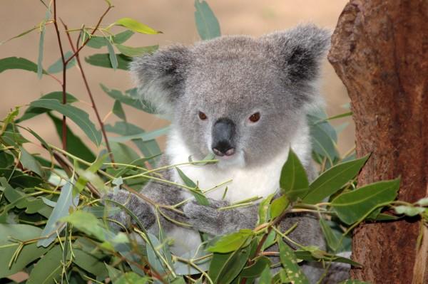 miś koala na drzewie, listki eukaliptusa