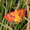 Ornate carpet moth