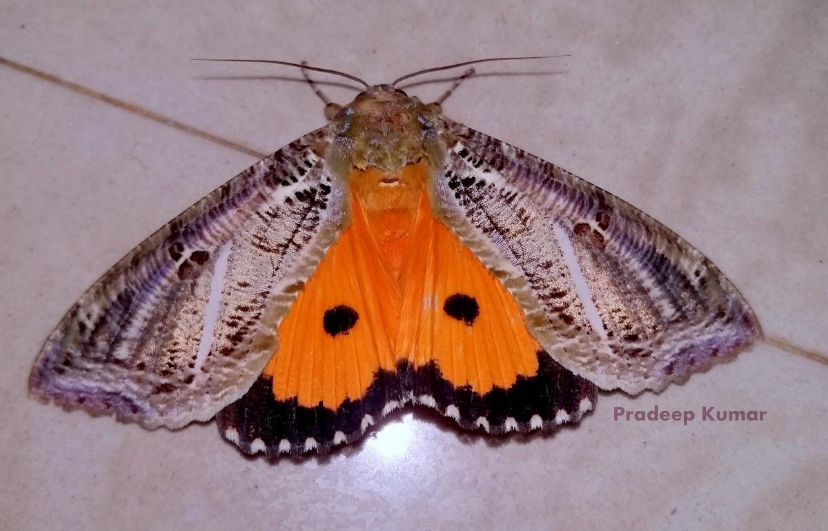 Fruit Sucking Moth