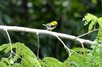 Photo: Black-throated Green Warbler (Grünwaldsänger); Kuhunlich, QR