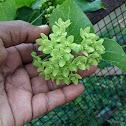 Green waxflower