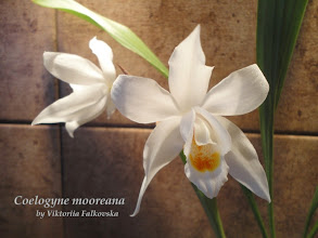 Photo: Coelogyne mooreana