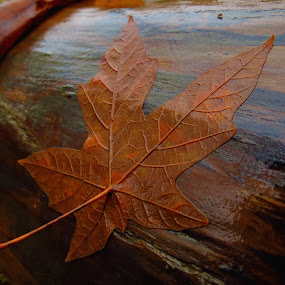 by Christopher Barker - Nature Up Close Leaves & Grasses ( fall leaves on ground, fall leaves, flaming geyser, qwas, award4 )