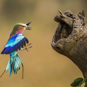 Hunny I am home by Lourens Lee Wildlife Photography - Animals Birds ( animals, wildlife, lilec breasted roller, lourens lee, africa, birds, birds in flight,  )