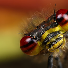 damsefly by Scott Thompson - Animals Insects & Spiders ( red, damselfly, insect )
