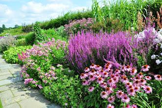 Photo: Mixed border wiht Lythrum virgatum 'Dripmore Purple' and Echinacea and Phlox in RHS gardens Wisley