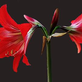 A.LILY by Nandu Pangi - Flowers Flower Gardens