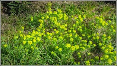 Photo: Alior , Laptele Cainelui - (Euphorbia cyparissias)  de pe Calea Victoriei, Nr.98 - 2016.04.07 album http://ana-maria-catalina.blogspot.ro/2016/04/aliorul-sau-laptele-cainelui-euphorbia.html