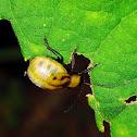 Gravid Leaf Beetle