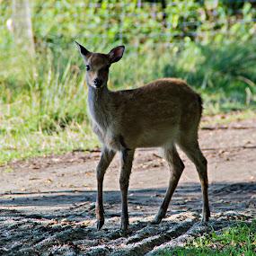 Deer by Lindberg-Photo.dk, Mathias Lindberg - Animals Other Mammals ( lindberg, lindberg-photo, lindberg-photo.dk, mathias lindberg, esbjerg, denmark, dyrehaven esbjerg,  )