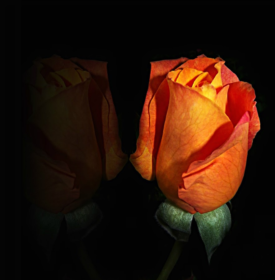 Orange bud by Manuela Dedić - Nature Up Close Flowers - 2011-2013 ( mirror, orange, rose, bud, garden,  )