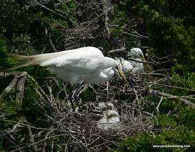 Photo: Great Egret nest at High Island, Texas