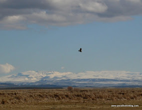 Photo: Rough-legged Hawk hunting at Malheur Refuge, Steens Mountain in the background