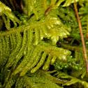 Ostrich-plume Moss