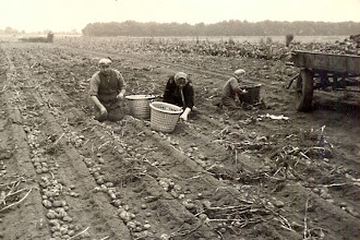 Photo: Rieks en Jantje Oosting: aardappel krabben