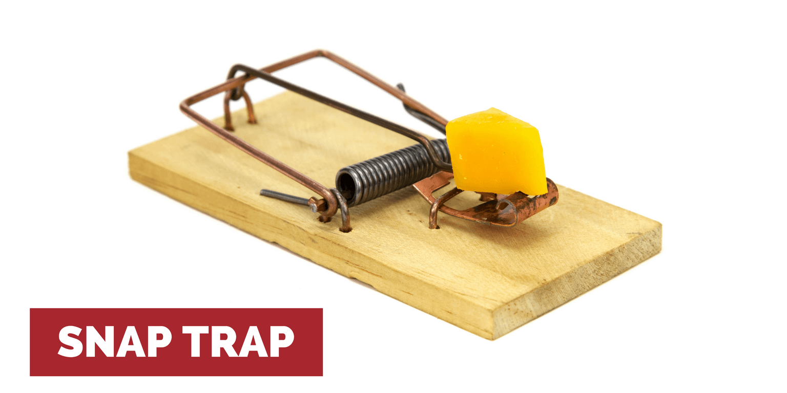 This is a picture of a snap trap with a piece of cheese on it to help kill rats without poison.