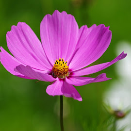 Cosmos by Ingrid Anderson-Riley - Flowers Flowers in the Wild