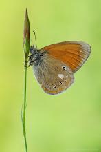 Photo: Coenonympha glycerion, Fadet de la mélique ou Iphis/Semi-Procris, Chestnut Heath http://lepidoptera-butterflies.blogspot.com/ https://www.facebook.com/pages/Macro-Photography-Do-Dema/540798875993427