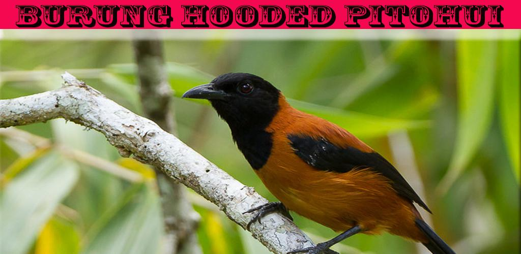 Download The Sound Of Birds Hooded Pitohui Apk Latest Version For Android