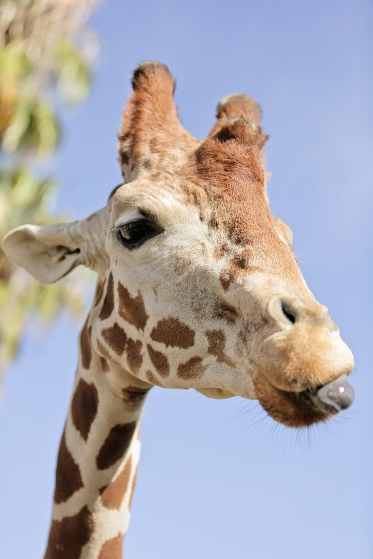 Feed Giraffes at the San Diego Zoo Safari Park.
