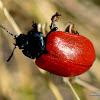 Chrysomela populi Broad-shouldered Leaf Beetles