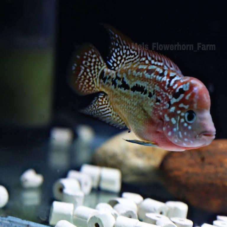 Mels Flowerhorn Farm - Aquarium in Salem