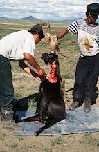 Photo: 03323 ナムジ家/ヤギ石焼料理準備/ボードック/首から下の皮を筒状に剥いだ中に解体した肉と焼石を詰めもどして、外側から火で焼く