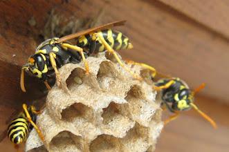 Photo: Haus-Feldwespe (Polistes dominula) Aufnahmedatum 8. Juli 2015