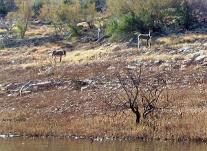 Photo: We see wild burros along the hillside.