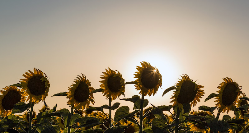 Sun Flower di MauMarty