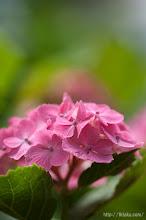 Photo: 早咲きのものから遅咲き種までたっぷりと楽しむ事ができる。(2014,06,15)