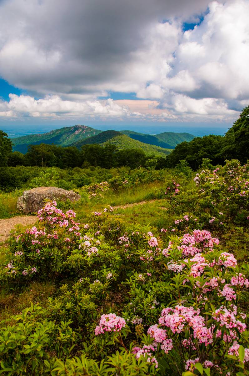 Mountains and blooming pink azaleas at Shenandoah, one of the best national parks to visit in the spring