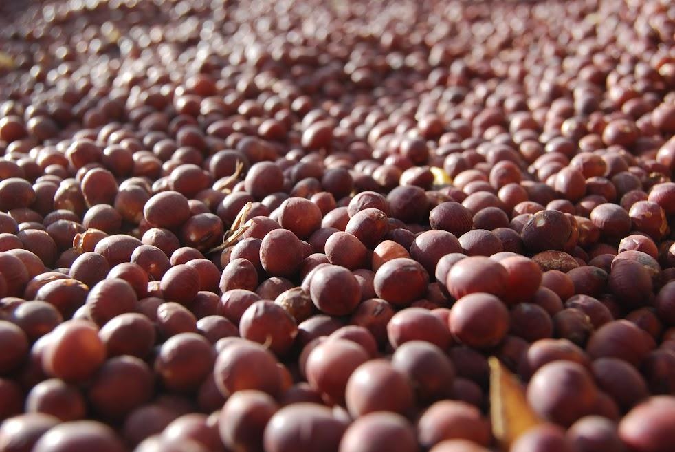 羽生在来赤大豆。不選別ですがかなりきれいです