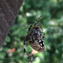 Woodland Orb Weaver