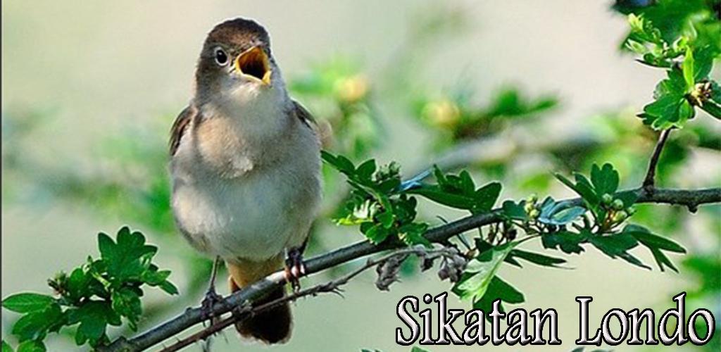 Kicau Burung Sikatan Londo 1 0 Apk Download Com Chikodev Kicauburungsikatanlondo Apk Free