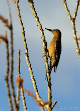 Photo: Adult female Gila Woodpecker on an ocotillo snag, southeast Arizona